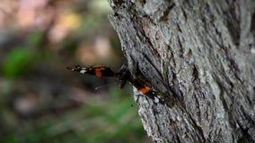 Primo piano di HD della farfalla di bellezza sull'albero Farfalla di ammiraglio rosso sull'albero video d archivio