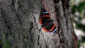Primo piano di HD della farfalla di bellezza sull'albero Farfalla di ammiraglio rosso sull'albero stock footage