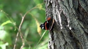 Primo piano di HD della farfalla di bellezza sull'albero Farfalla di ammiraglio rosso sull'albero archivi video