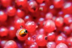 Primo piano di Ladybird su un ribes Fotografia Stock