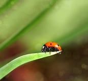 Primo piano di Ladybird su una foglia Fotografia Stock Libera da Diritti