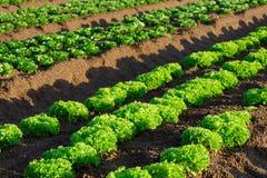 Primo piano di lattuga sull'azienda agricola Immagine Stock