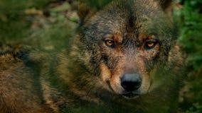 Primo piano di legni di Wolf Looking Around Deep In archivi video