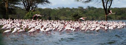 Primo piano di Lesser Flamingos fotografia stock libera da diritti