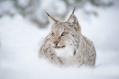 Primo piano di Lynx Immagine Stock Libera da Diritti