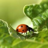 Primo piano di macro del Ladybug Fotografia Stock Libera da Diritti