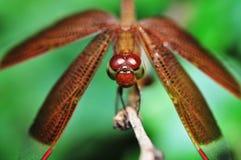 Primo piano di macro della libellula Fotografia Stock