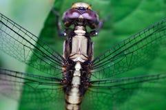 Primo piano di macro della libellula Fotografia Stock Libera da Diritti