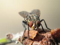 Primo piano di macro della mosca di Friut Fotografie Stock
