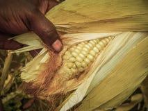 Primo piano di mais nella mano dell'agricoltore Fotografia Stock Libera da Diritti