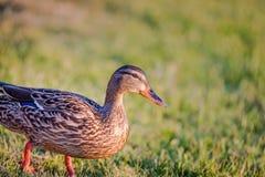 Primo piano di Mallard Duck Female che sta nell'erba con lo spazio della copia Fotografie Stock