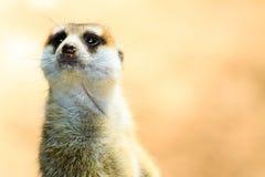 Primo piano di Meerkat sull'allarme fotografia stock