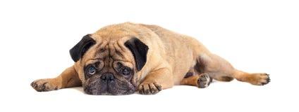 Primo piano di menzogne del cane del carlino fotografia stock libera da diritti