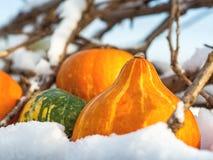 Primo piano di mini zucche all'aperto nella neve Fotografia Stock