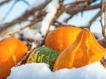Primo piano di mini zucche all'aperto nella neve Immagine Stock