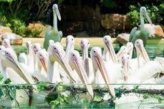 Primo piano di molti grandi uccelli del pellicano bianco con le bocche aperte Fotografie Stock Libere da Diritti