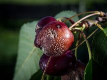 Primo piano di Monilia del _della putrefazione della frutta della ciliegia immagini stock