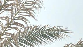 Primo piano di muoversi giallo e stanco delle foglie di palma video d archivio