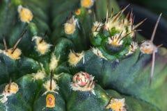 Primo piano di nuova piantina coperta di spine del cactus Fotografia Stock