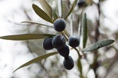 Primo piano di di olivo dopo la pioggia Fuoco selettivo Soller, Maiorca Fotografie Stock