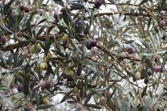 Primo piano di di olivo dopo la pioggia Fuoco selettivo Soller, Maiorca Fotografia Stock Libera da Diritti
