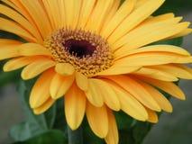 Primo piano di oro giallo Gerber Daisy Flower Blossom Bloom Fotografia Stock