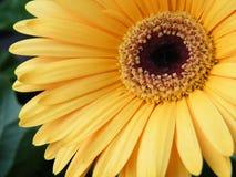 Primo piano di oro giallo Gerber Daisy Flower Blossom Bloom Fotografia Stock Libera da Diritti