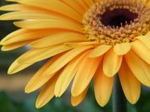 Primo piano di oro giallo Gerber Daisy Flower Blossom Bloom Fotografie Stock Libere da Diritti