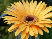 Primo piano di oro giallo Gerber Daisy Flower Blossom Bloom Petal Fotografia Stock Libera da Diritti