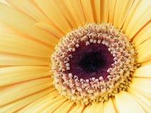 Primo piano di oro giallo Gerber Daisy Flower Blossom Bloom Petal Immagini Stock Libere da Diritti