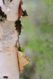 Primo piano di pelatura del circuito di collegamento di albero dell'Aspen fotografia stock libera da diritti