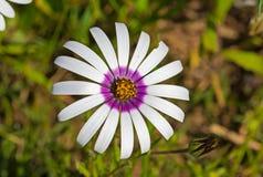 Primo piano di piccola margherita che mostra polline sui petali Fotografia Stock