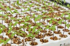 Primo piano di piccole piante di pomodori in una serra Immagine Stock