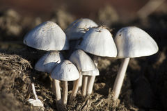Primo piano di piccoli funghi bianchi che crescono sullo sterco Fotografia Stock