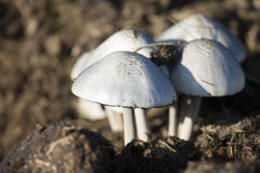 Primo piano di piccoli funghi bianchi che crescono sullo sterco Immagini Stock Libere da Diritti