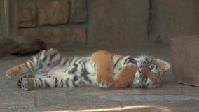 Primo piano di piccolo cucciolo di tigre sveglio degli occhi azzurri in zoo stock footage