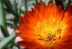 Primo piano di piccolo fiore arancio di una pianta succulente, pianta grassa fiorita immagini stock libere da diritti