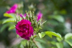 Primo piano di piccolo fiore rosa-intenso del chiodo di garofano circondato dai germogli e dalle foglie verdi immagine stock libera da diritti