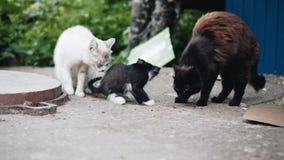 Primo piano di piccolo gattino divertente un gattino senza tetto cammina accanto alle sue controparti adulte calca dei gatti sull video d archivio
