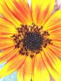 Primo piano di piccolo giallo del girasole arancione scuro fotografia stock
