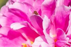 Primo piano di piccolo insetto su una peonia rosa Immagini Stock