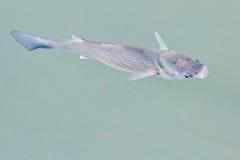 Primo piano dei pesci Fotografia Stock Libera da Diritti