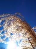primo piano di piuma pennuta dell'erba di pampa ornamentale al sole di estate Fotografia Stock Libera da Diritti