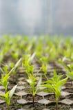 Primo piano di produzione dei semenzali delle cellule Immagini Stock