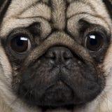 Primo piano di Pug Fotografie Stock Libere da Diritti
