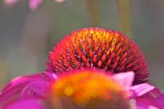 Primo piano di purpurea del Echinacea Immagini Stock Libere da Diritti