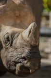 Primo piano di rinoceronte Immagini Stock