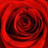 Primo piano di rosa di bello colore rosso Fotografia Stock Libera da Diritti