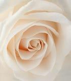 Primo piano di rosa di bianco
