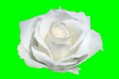 Primo piano di rosa di bianco Fotografie Stock
